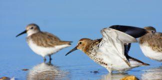Dance of Dunlins at Dusk, dunlin, birds flocking, murmeration of birds, flight of dunlins,