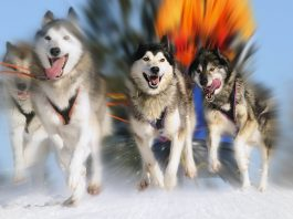 Even dogs need purpose, Passion, Purpose, Dogs, Working Dogs, Sled Dogs, Boomers, Baby Boomers