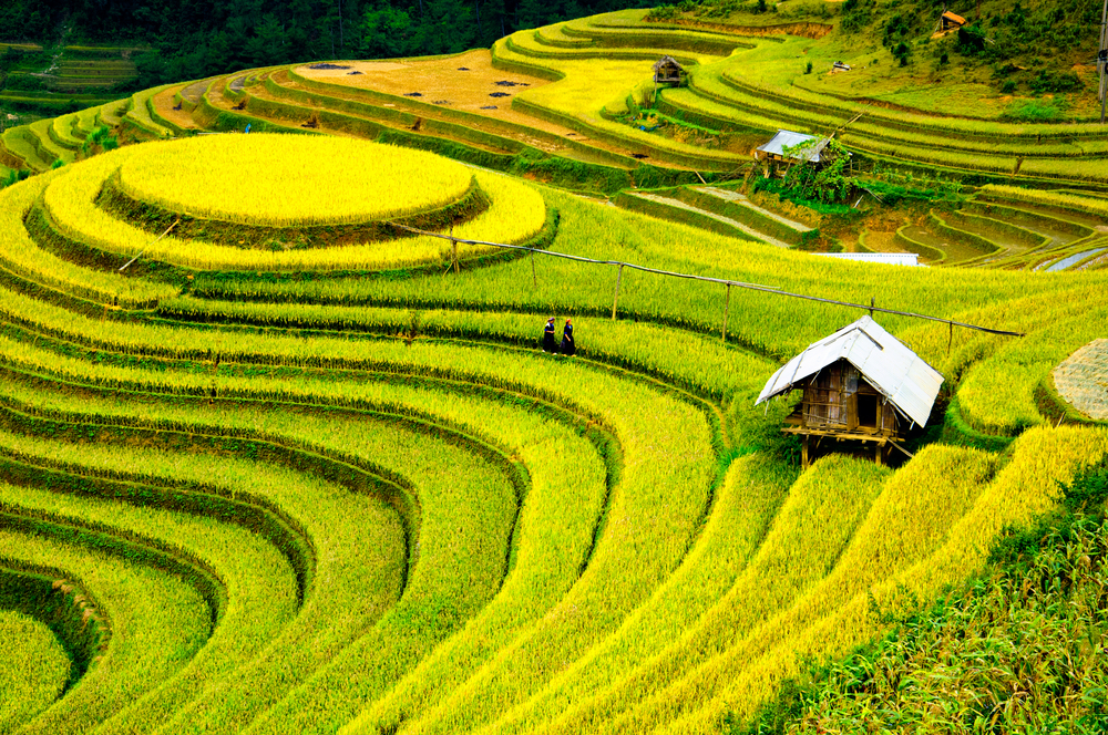 Rice fields on terraced of Mu Cang Chai, YenBai, Vietnam. Rice fields prepare the harvest at Northwest Vietnam, Doris Gallan, BabyBoomersTraveling, Baby Boomers Traveling, LeAura Alderson, Vietnam, Jacob Frank, boomer traveling the world, ex pats, ex patriots,